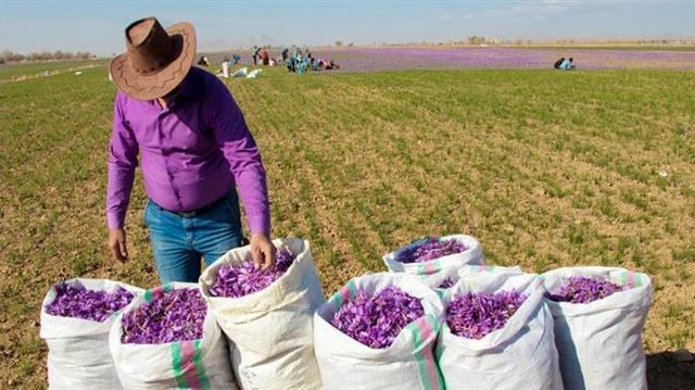 伊朗主要出口农产品藏红花